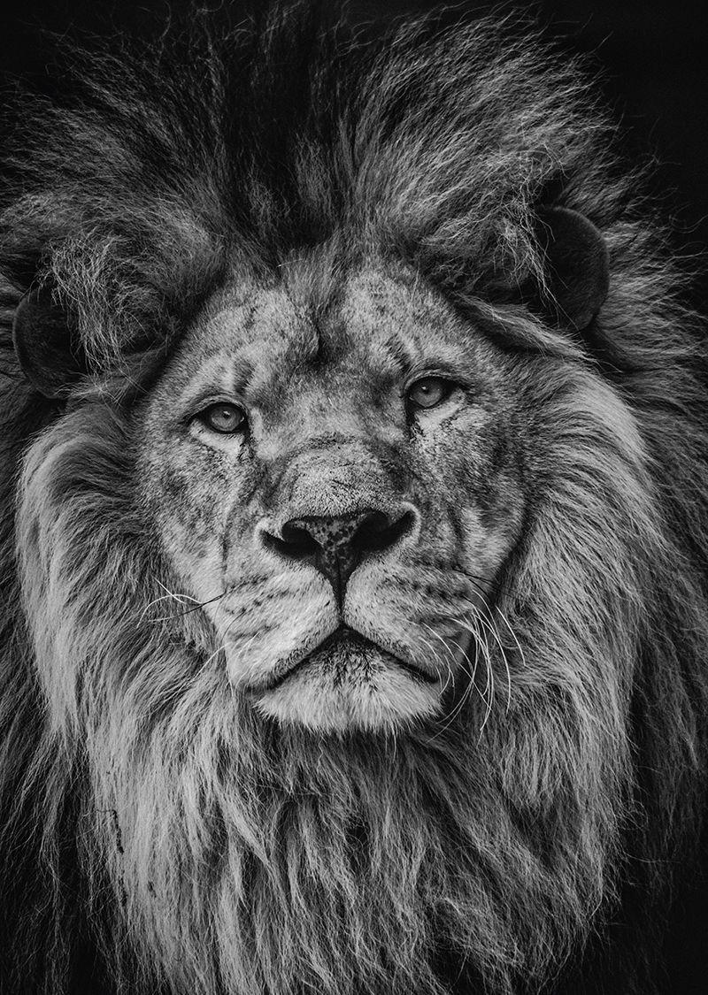 Portrait De Lion En Noir Et Blanc En 2020 Fond D Ecran Lion Image Fond Noir Lion Noir Et Blanc