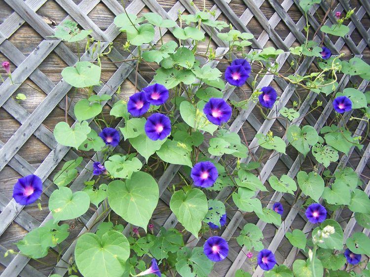 Zaun Begrünen prunkwinden ipomea holzzaun begrünen schlingpflanze #garden
