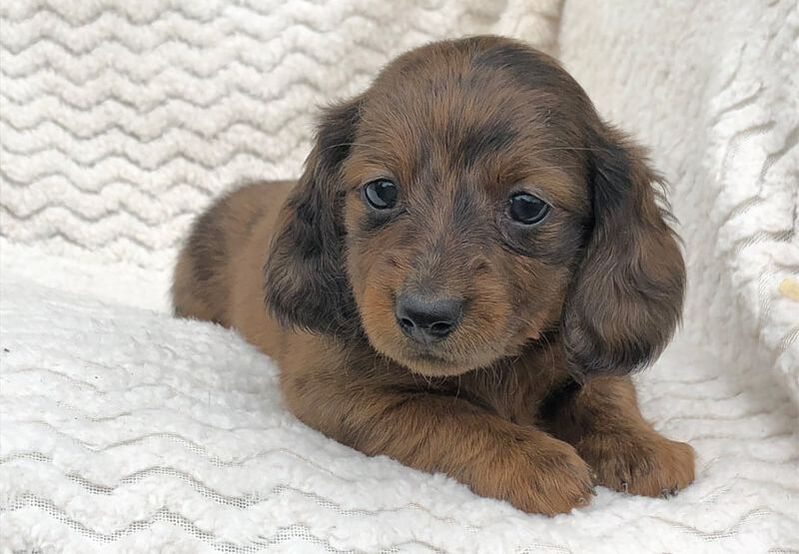 Miniature Dachshund Pups Available For Sale Mare Bella Dachshunds In 2020 Miniature Dachshund Dachshund Pets Dachshund Puppy Miniature