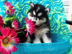 Puppy Love. Looks like my Blue