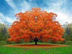 Orange Jacaranda Tree Beautiful Tree