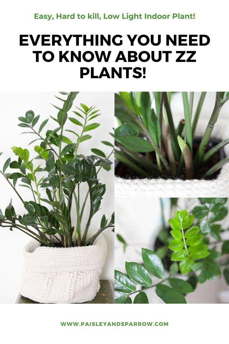 ZZ Plant Care Tips + Propagation Instructions in 2020 | Zz ...