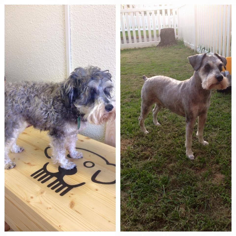 Schnauzer Shave Down By Lauren Alabid Dog Grooming Pinterest
