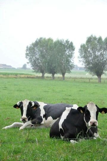 Country Living ~ cow break!