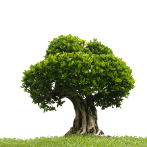 Tree Png Png Images For Graphic Web Designe Bonsai Tree Tree Image