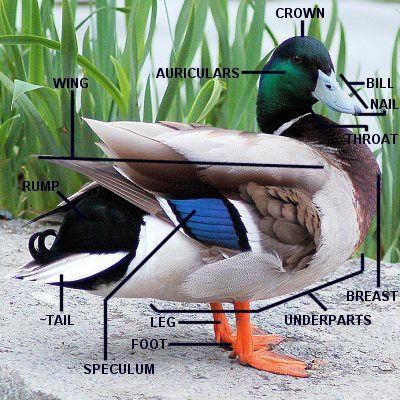 Parts of a Duck