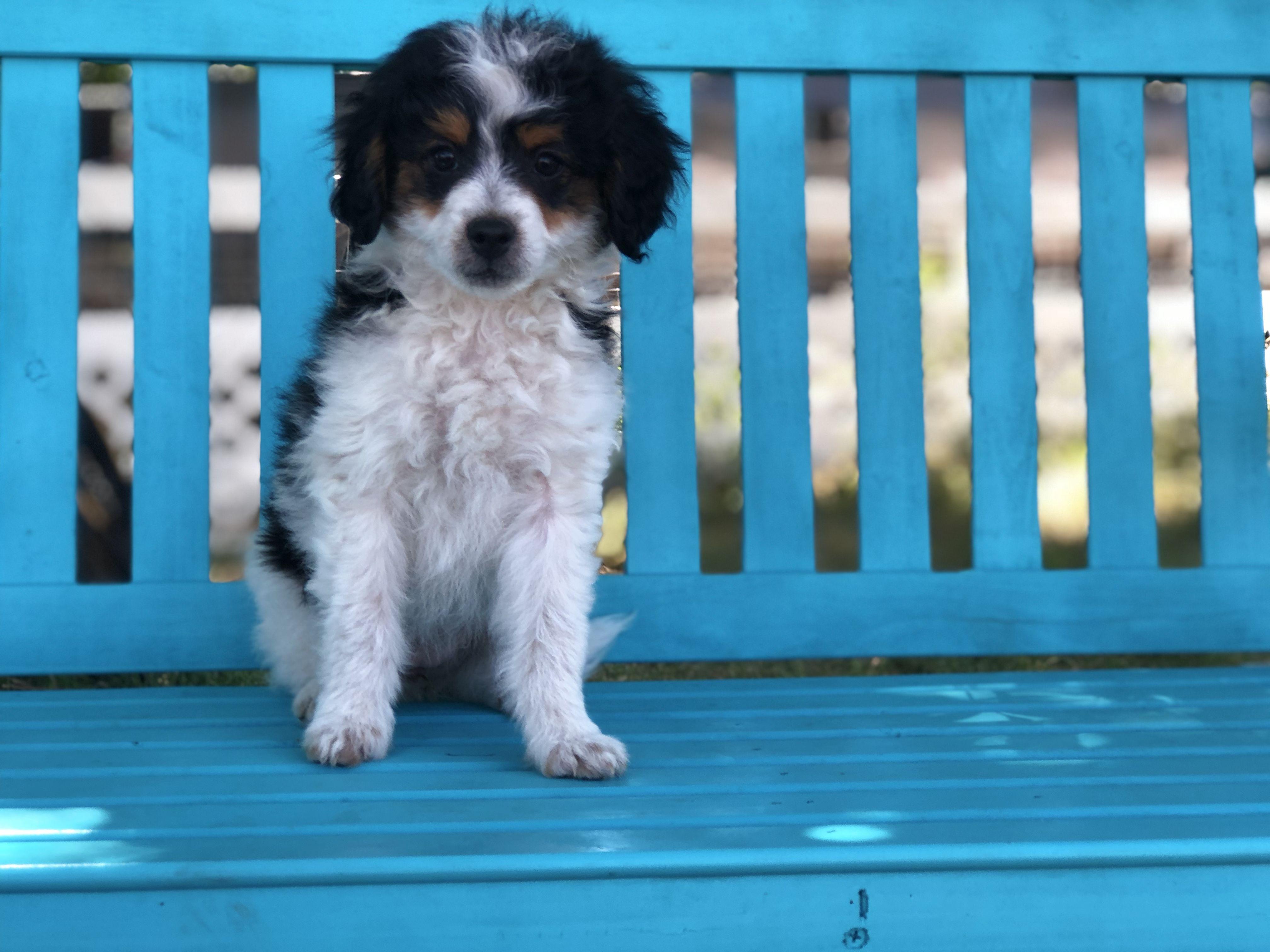 Mavis The Boston Terrier Baby From Salt Lake City Utah Usa