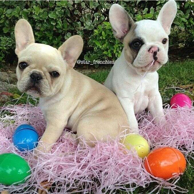 Piglet And Bubbles The French Bulldog Puppies French Bulldog