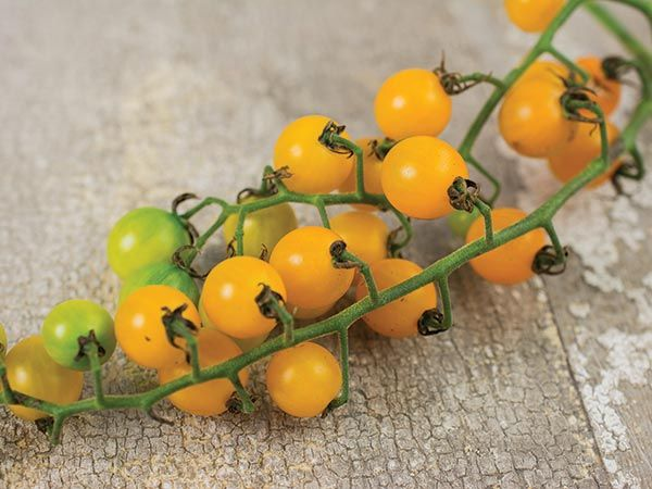 Gold Rush Currant Tomato   Baker Creek Heirloom Seed Co