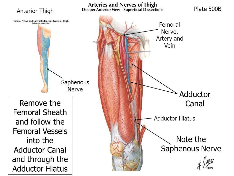 Adductor Canal Anatomy Pinterest Anatomy