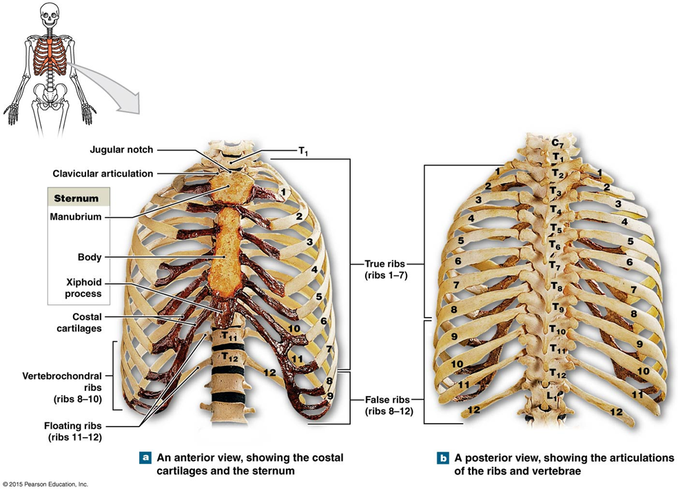 Diagram Of Posterior Rib Cage Great Installation Of Wiring Diagram