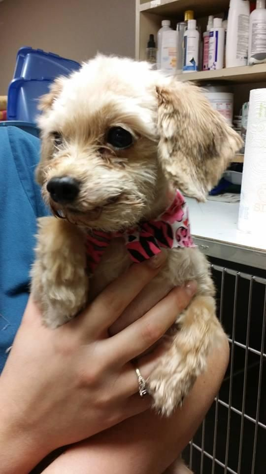 Meet Tess A Petfinder Adoptable Yorkshire Terrier Yorkie Dog
