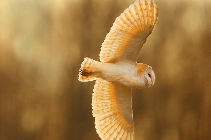 Barn Owl in Flight foto