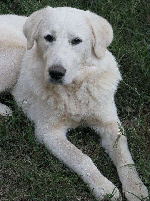 Great Pyrenees Lab Mix Temperament With Images Akbash Dog