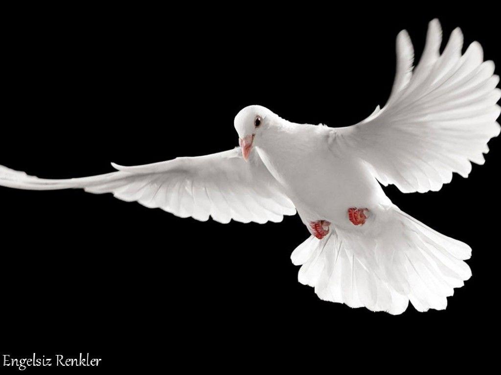 Beyaz Gvercin Ile Ilgili Grsel Sonucu Kartal Pinterest Gaston