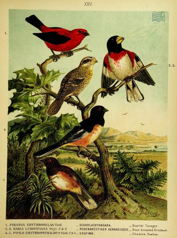 Our native birds of song and beauty, being a complete history of all the songbirds, flycatchers, hummingbirds, swifts, goatsuckers, woodpeckers, kingfishers, trogons, cuckoos, and parrots, of North America. Vol. 2, 1893 [BHL]