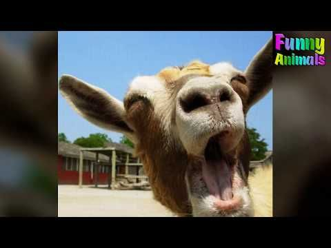 Ten of the Very Best Screaming Goat Videos You Need to See  Mom Screaming Goats Funny