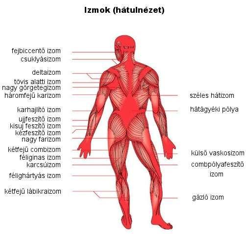 a hajlító izmok fiziológiai hipertóniája