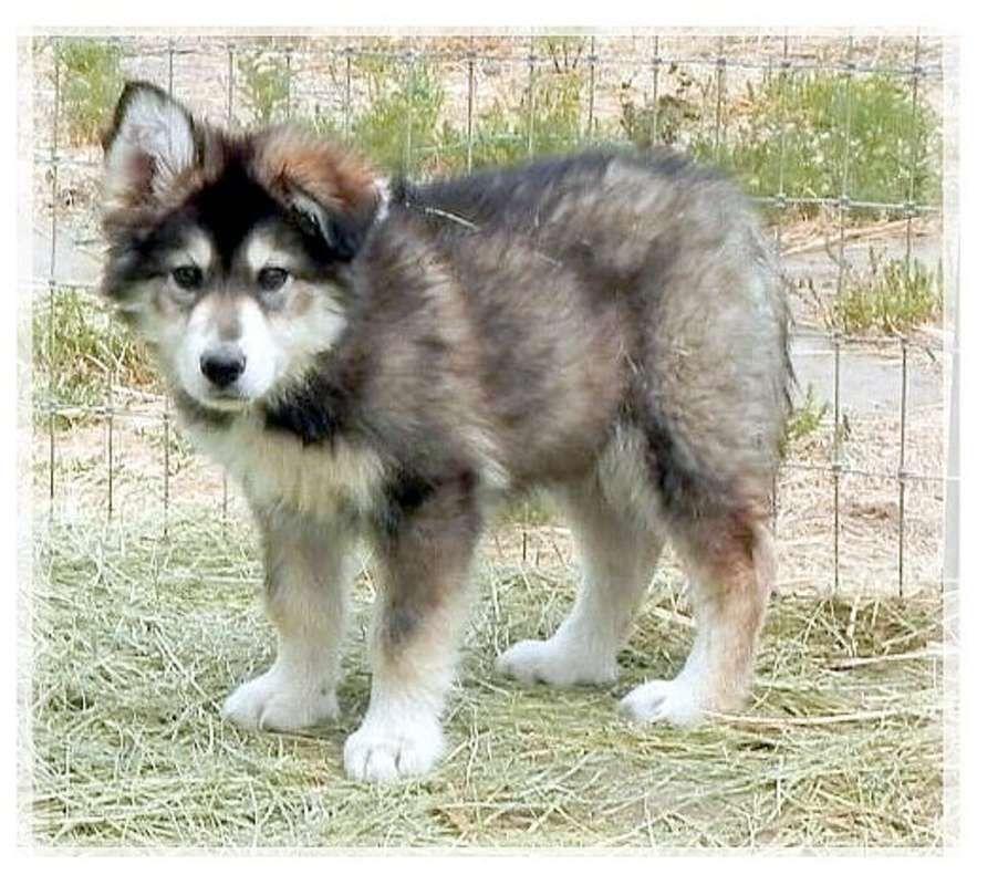 Wolf Husky Pups in California Wolf Cross Pups in San