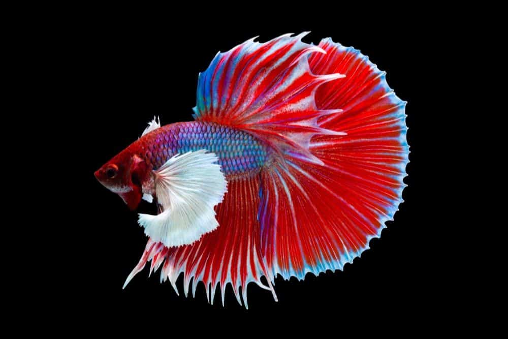 Types Of Betta Fish Names Tail Shape And Color Betta Fish Types Betta Fish Betta