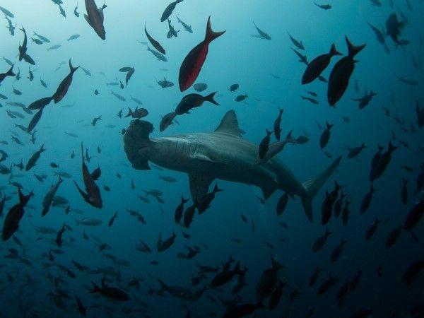 Tiburones en las Galápagos