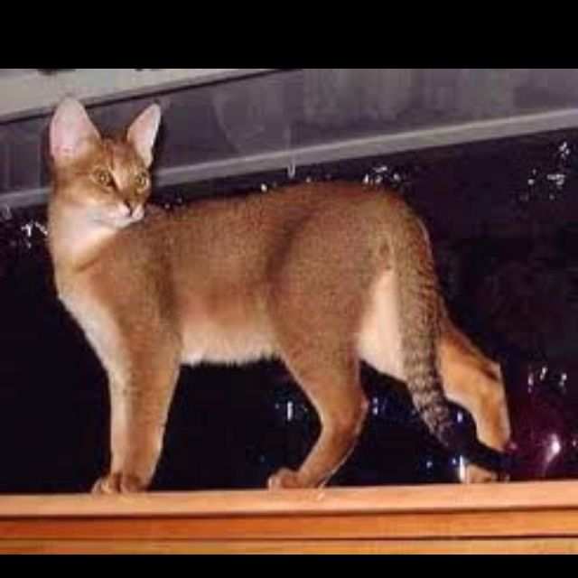 A Chausie I Want This Too Looks Like A Mountain Lion Chausie Cat Hybrid Cat Rare Cats