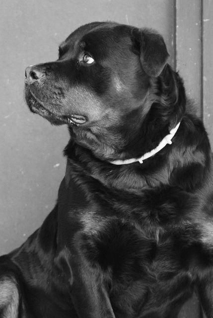 """Find out additional relevant information on """"rottweilers"""