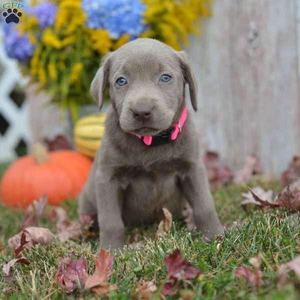 Alissa Labrador Retriever Silver Puppy For Sale In Ohio Labrador Retriever Labrador Puppies