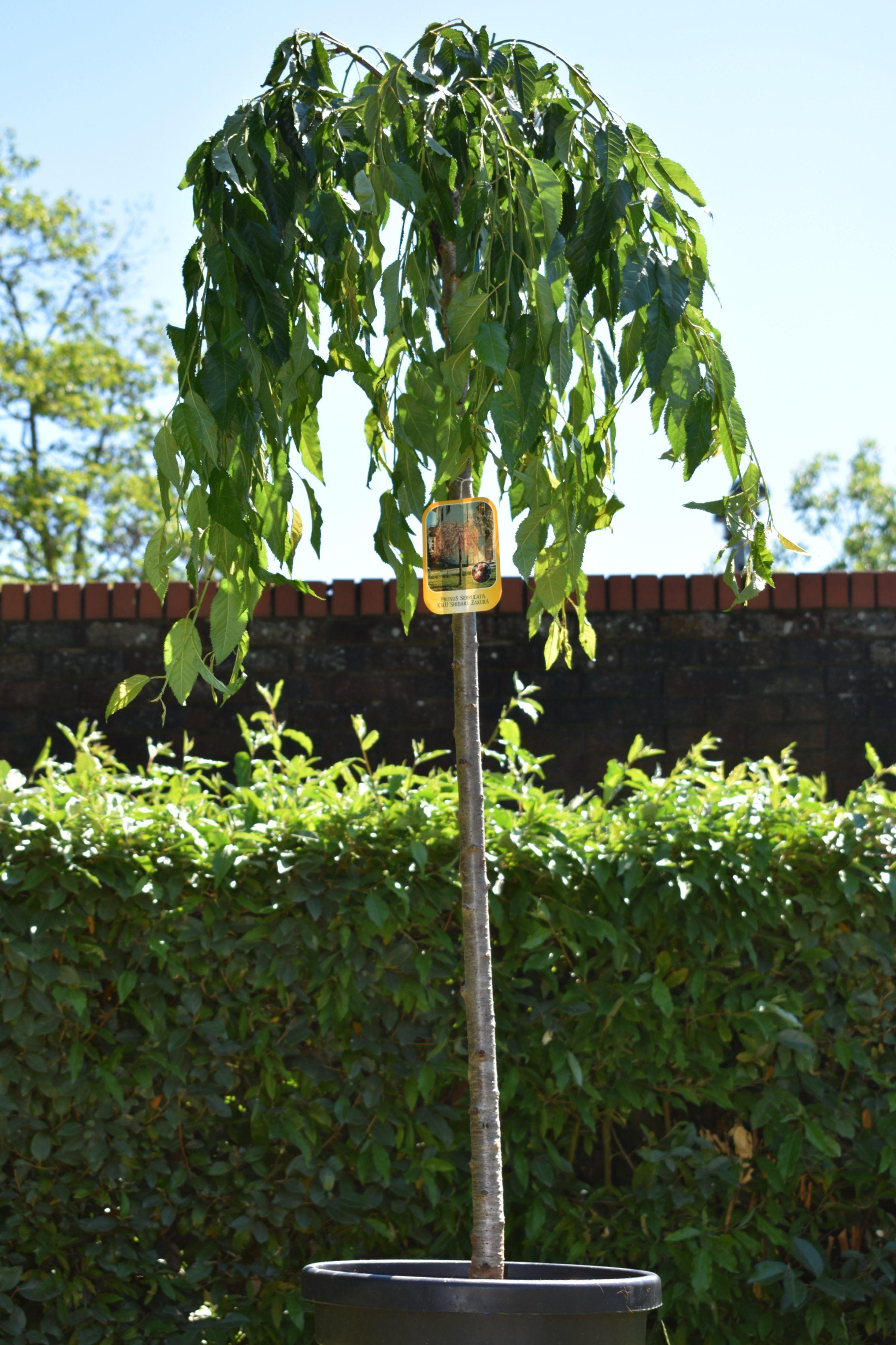 5ft Cheals Weeping Cherry Blossom Tree 12l Pot Prunus Kiku Shidare Zakura By Frank P Matthews 99 99 Blossom Trees Cherry Blossom Tree Planting Flowers