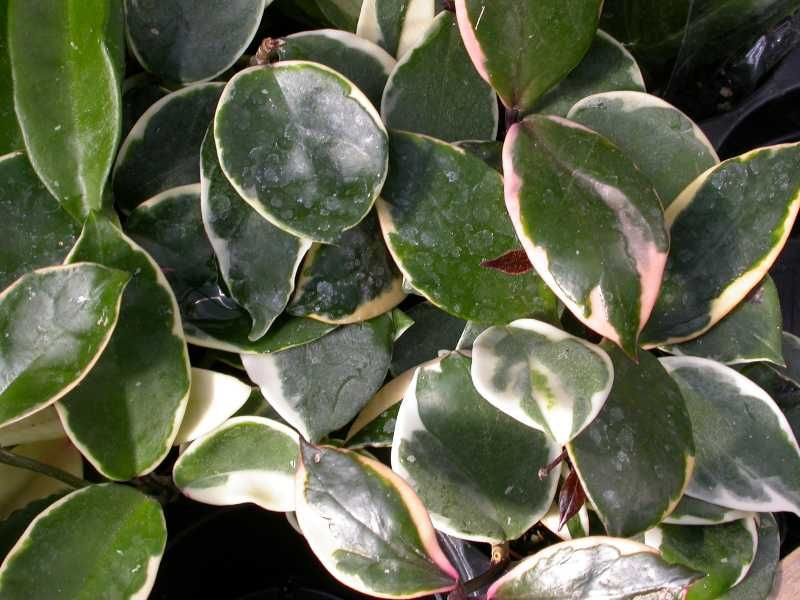 Top 10 houseplants 6 wax plant you may want to hang this plant top 10 houseplants wax plant you may want to hang this plant in a basket to enjoy the trailing stems and to appreciate the white waxy flowers that hang mightylinksfo