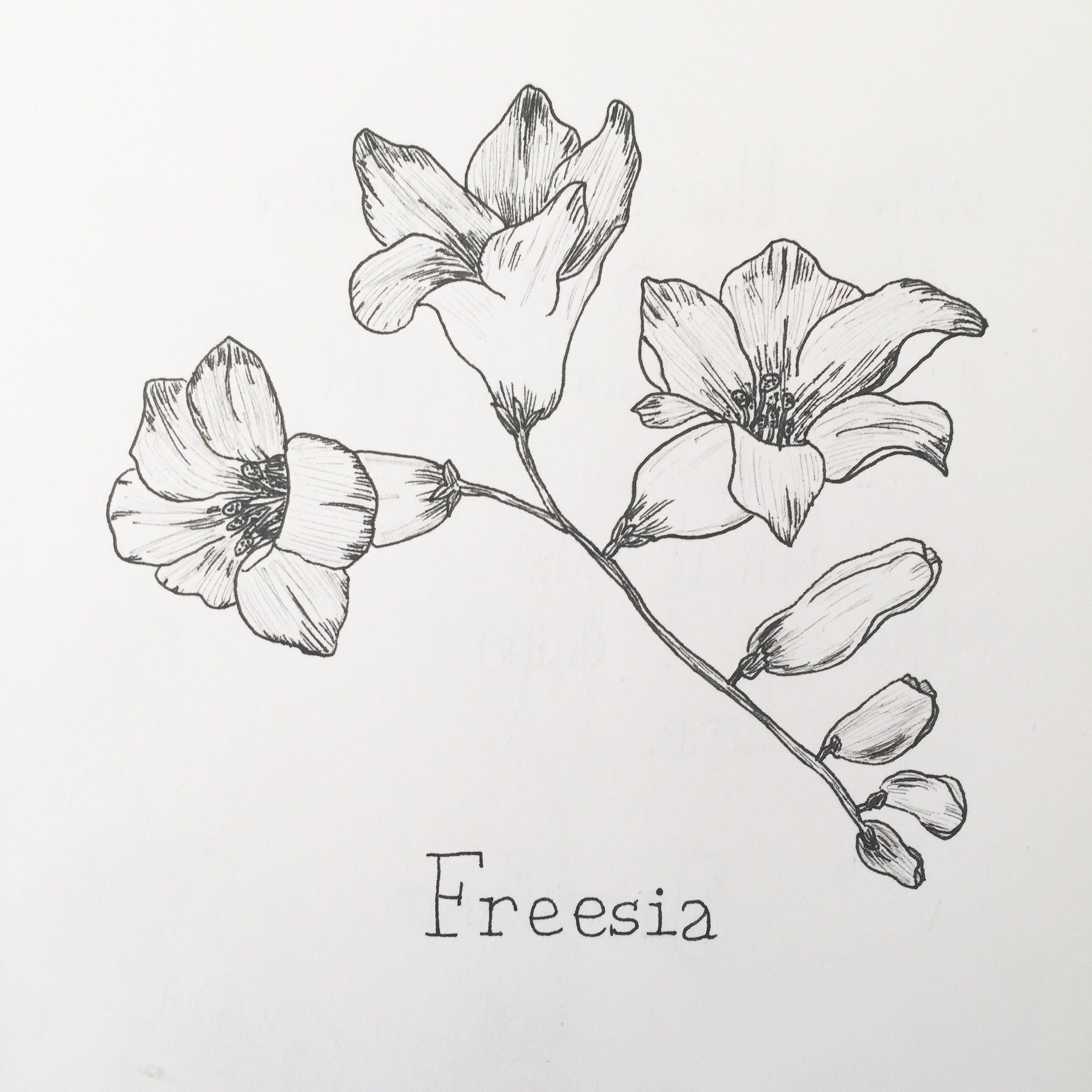 Freesia Flower Drawing Freesia Flowers Flower Art