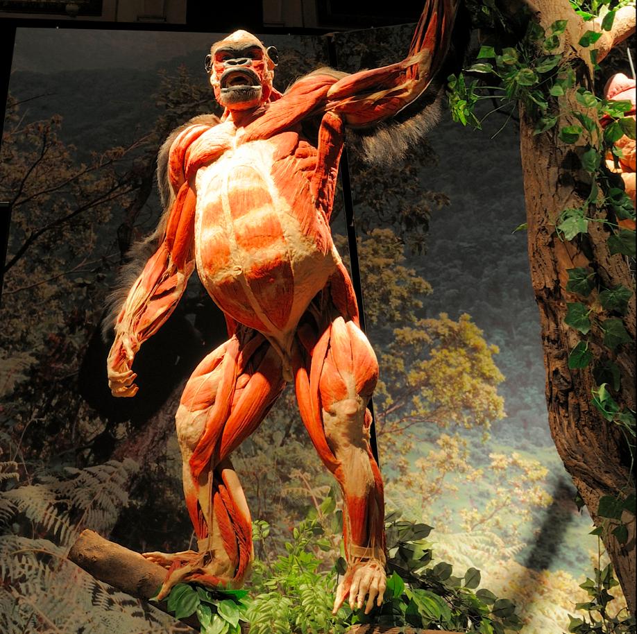 plastinated gorilla | hominidus | Pinterest | Anatomía, Anatomía ...