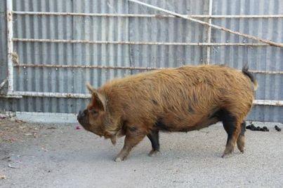 Pig Breeds Pet Pig Education Pig breeds, Pet pigs, Pig