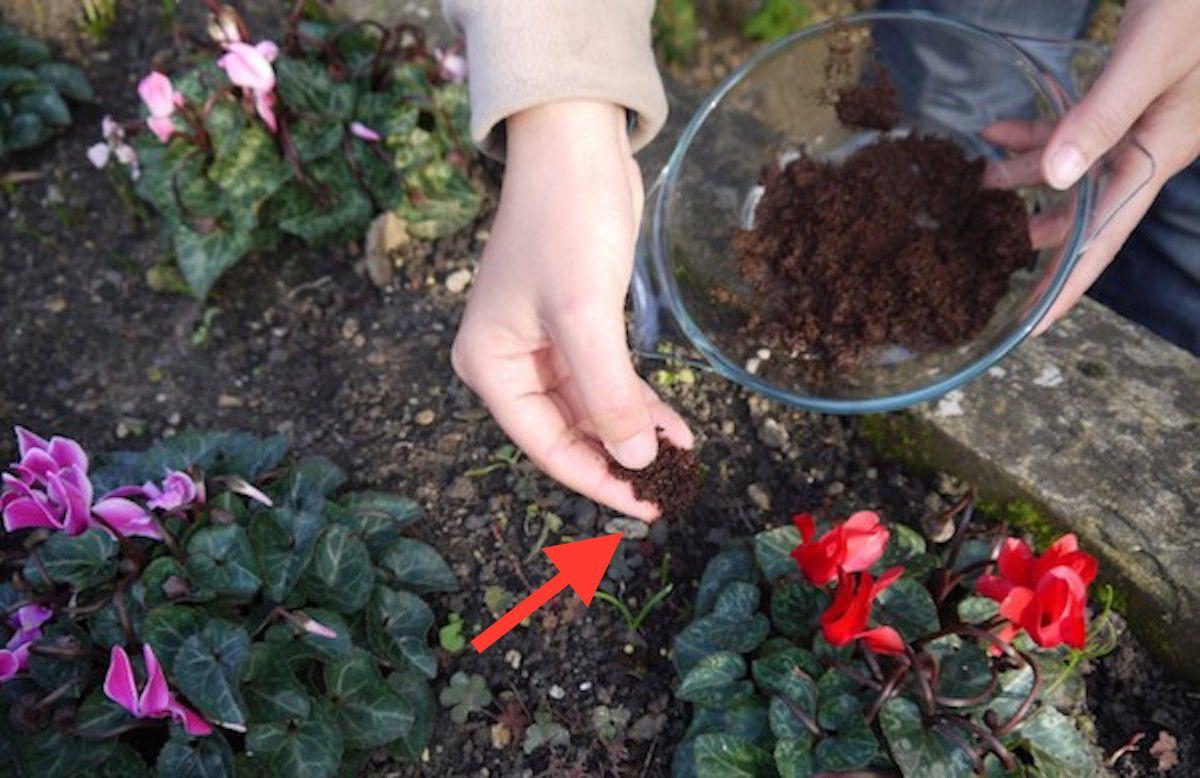 Koffiedik In Tuin : Redenen waarom je vanaf nu koffiedik in de tuin moet gebruiken