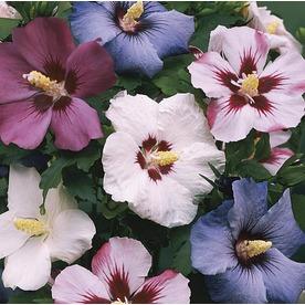 50a013c91e 1-Gallon Multicolor Rose Of Sharon Flowering Shrub In Pot (L1203) Nursery