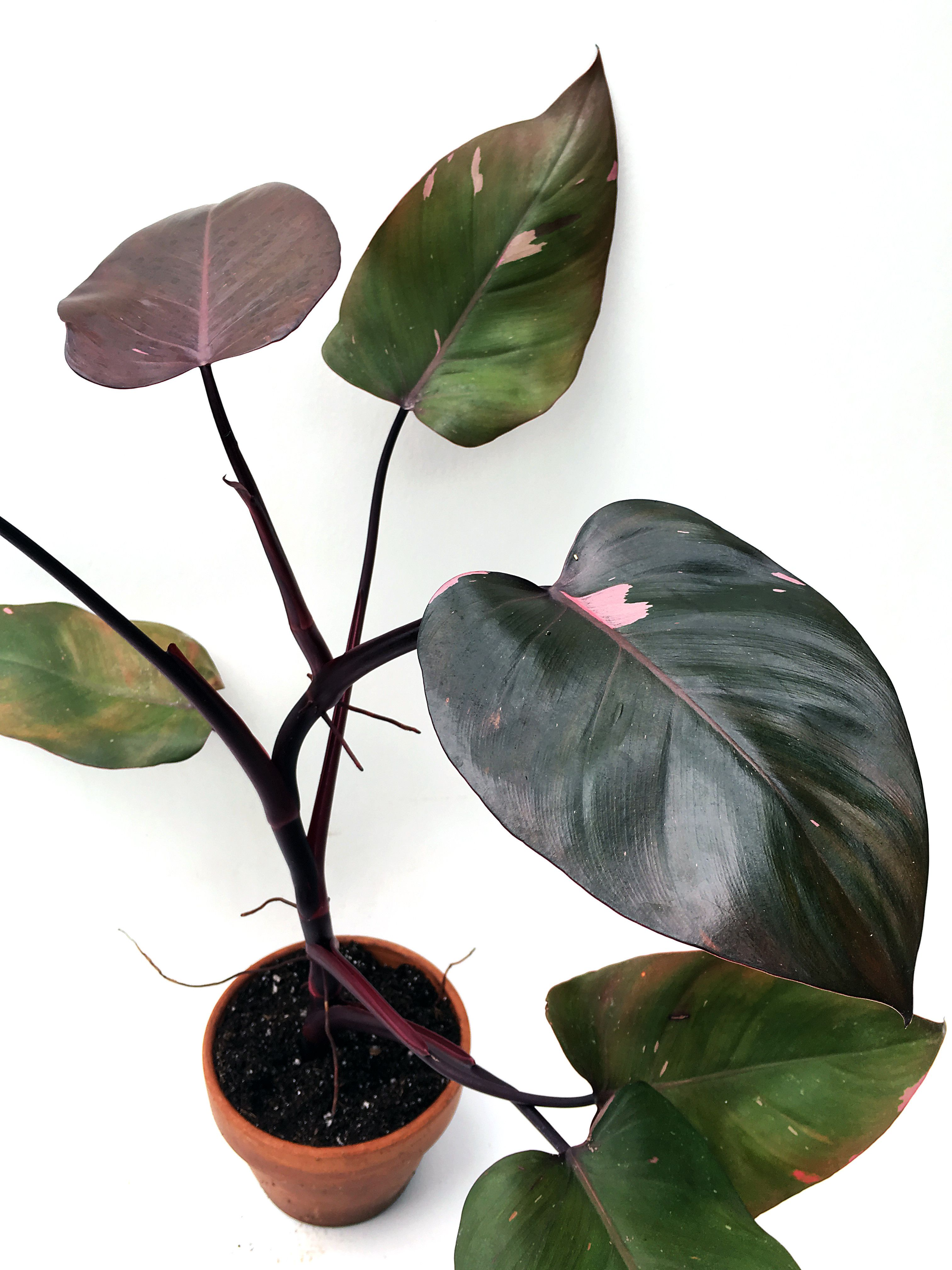 Reverted Philodendron 'Pink Princess' (Philodendron ... on names of tea bags, names of plants, names of climbers, names of hibiscus, names of gifts, names of gardens, names of art, names of health, names of soil, names of corn, names of water, names of perennials, names of baskets, names of design, names of pests, names of biennials, names of greenhouses, names of wildlife, names of bromeliads, names of vines,