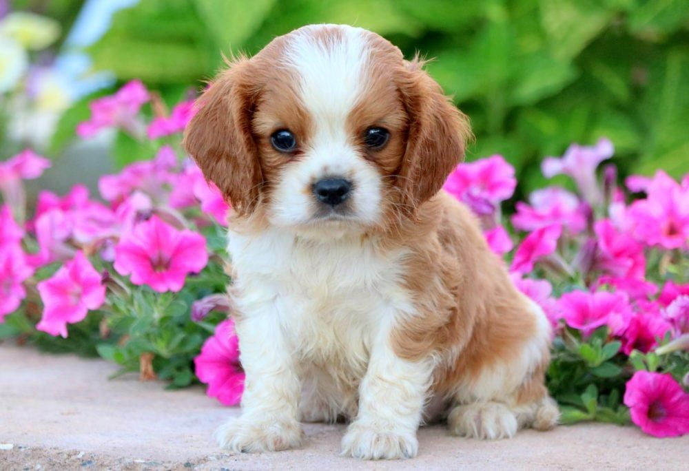 Champ cavalier king charles spaniel puppy for sale
