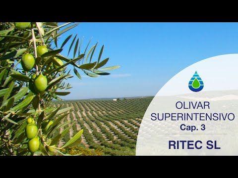 11 Ideas De Huerto Olivos Cultivo Olivo Huerto Injertos De Plantas