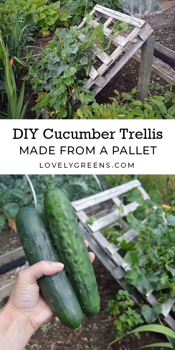 We all know that best cucumbers grow when they get just the right amount of exposure to air and sun! Treat your cucumbers properly with this trellis made from a wooden pallet. #garden #plants
