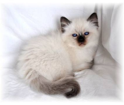 Balinese Kitten U Want This Don T Ya So Cute Hehe Kitten Breeds Cutest Kitten Breeds Balinese Cat