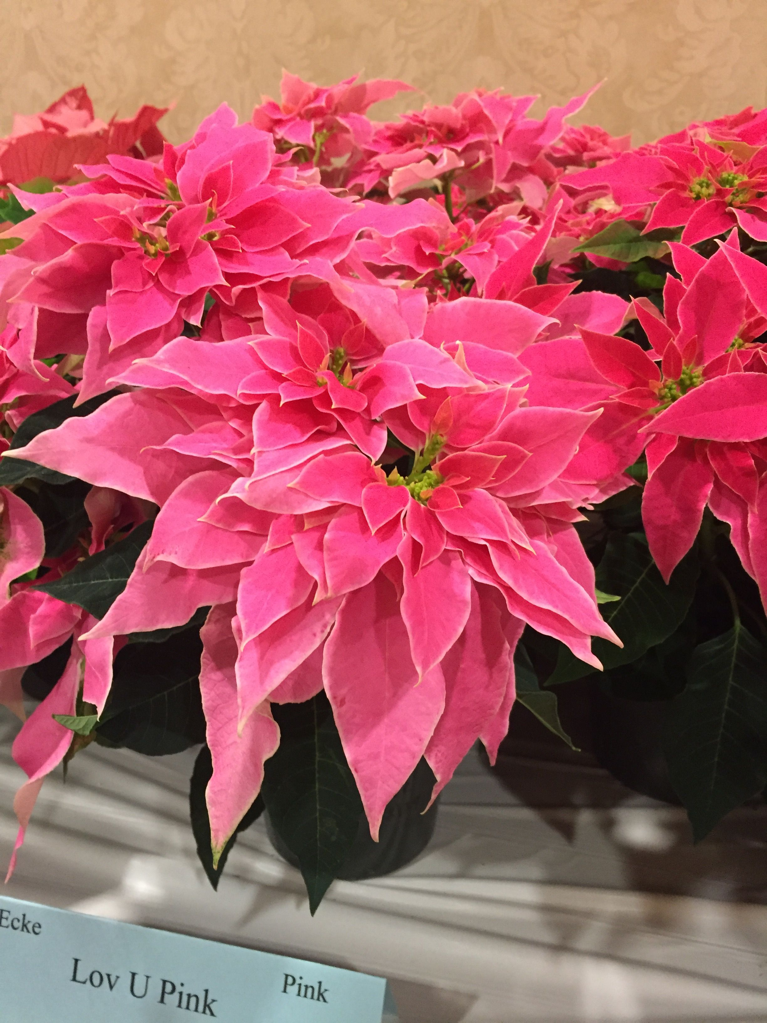 Absolutely Stunning Luv U Pink Poinsettia Has White Thin Edges Christmas Plants Pretty Flowers White Flowers Garden