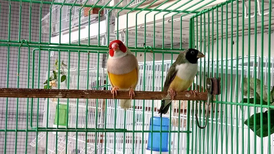 Ud Jalak Suren Klaten Burung Jalak