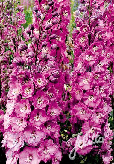 Jelitto Perennial Seed Delphinium Elatum New Millennium F1 Hybr