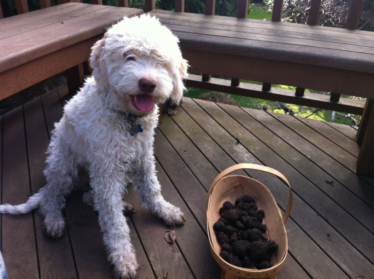 Introduction To Truffle Hunting Hunting Dogs Dogs Truffle Hunting