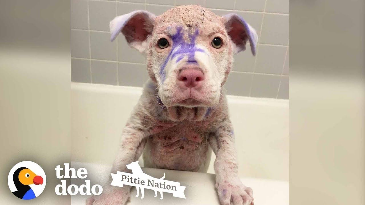 Purple Pittie Puppy Makes An Incredible Transformation The Dodo