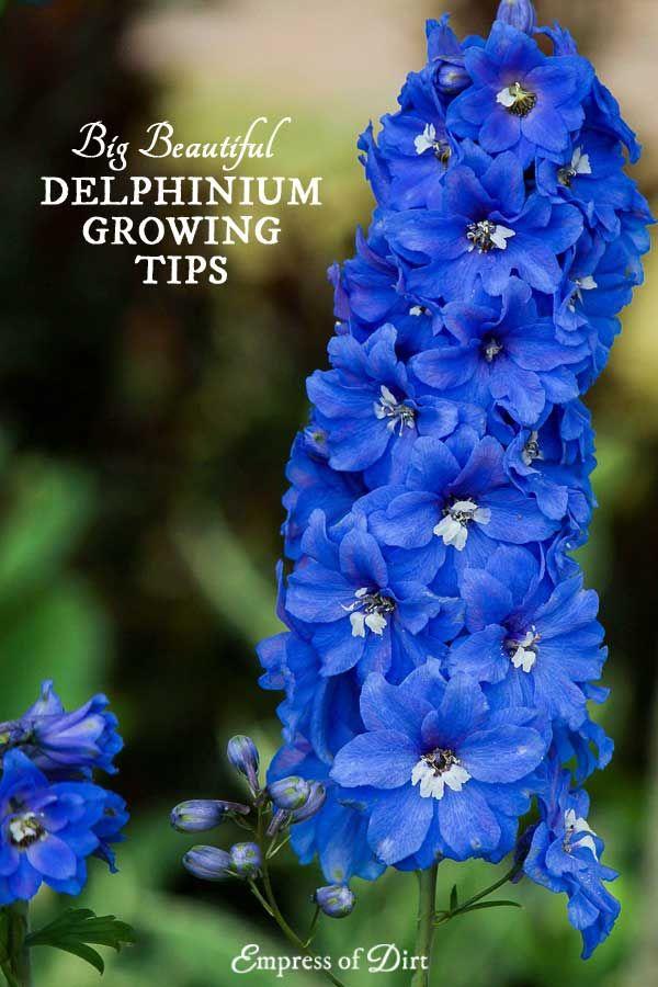 Cottage Garden Delphinium Seeds in Blue Larkspur Seeds