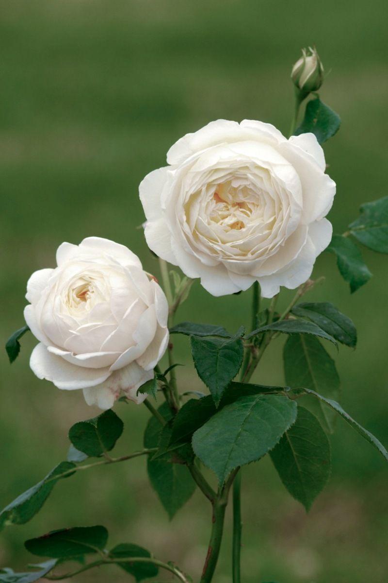 U0027Claire Austinu0027 | David Austin English Rose. Old English RosesOutdoor  FlowersDavid Austin RosesWhite GardensGarden ...