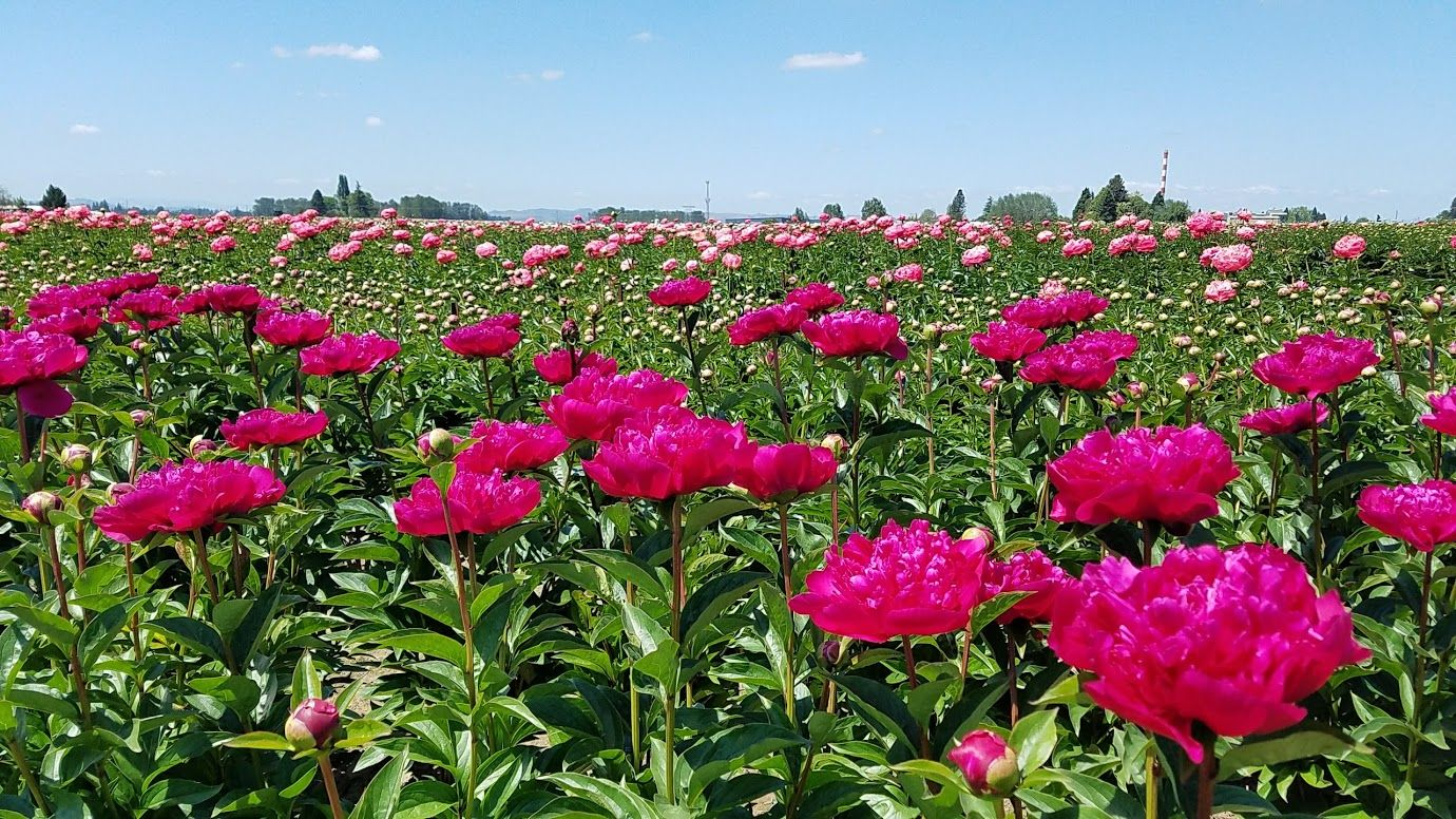 Oregon Travel Visiting the Adelman Peony Gardens