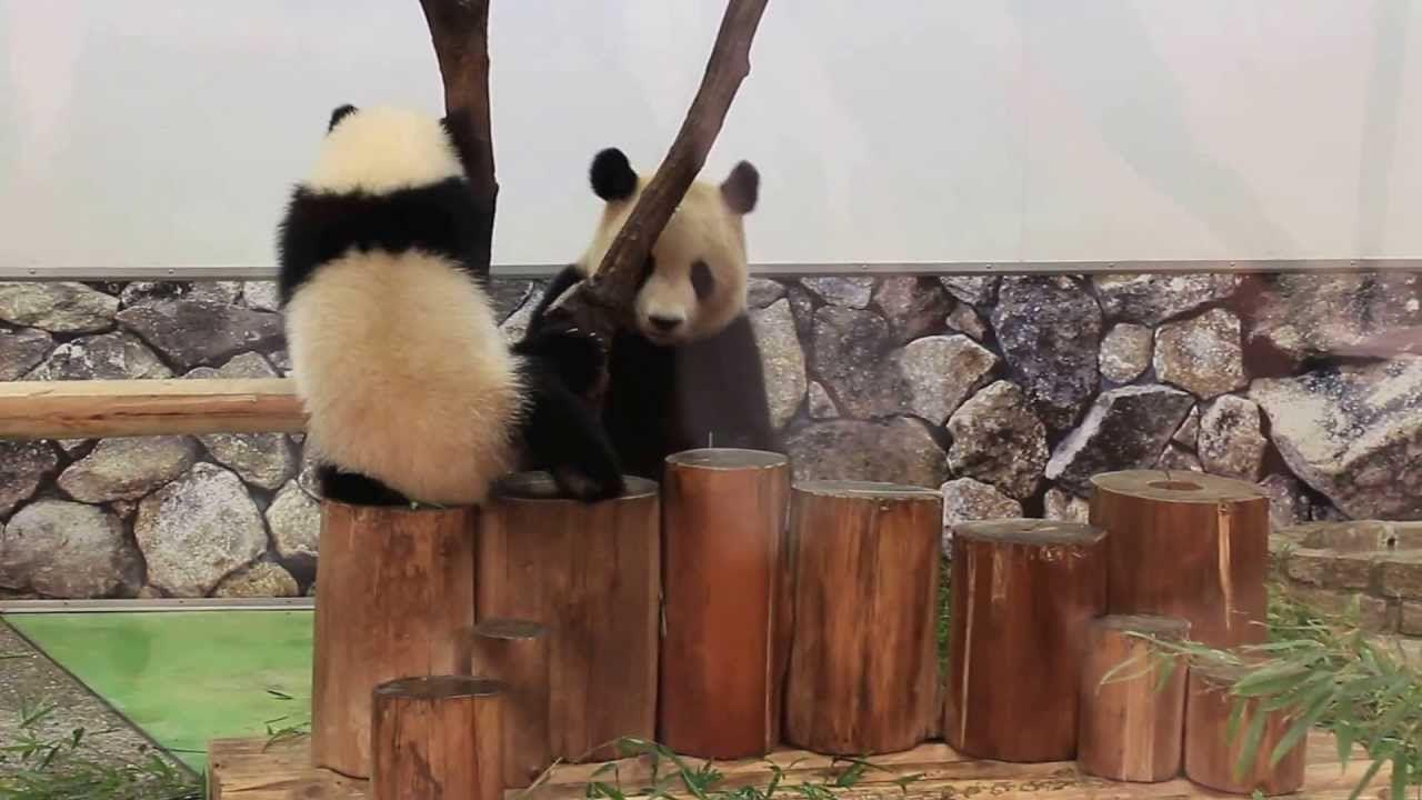 白浜アドベンのパンダ「優浜ちゃん」10カ月親子の触れ合い