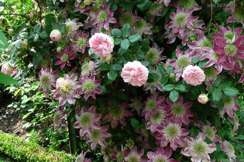 'Pierre de Ronsard ' Rose  Eden Rose